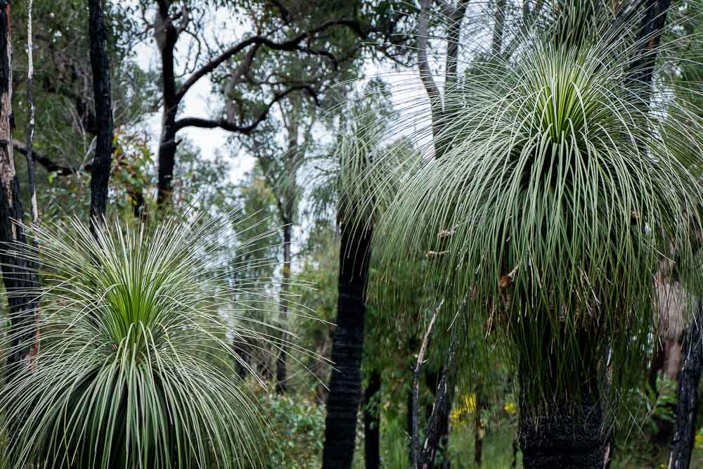 Ambergate_Reserve_Grass_trees