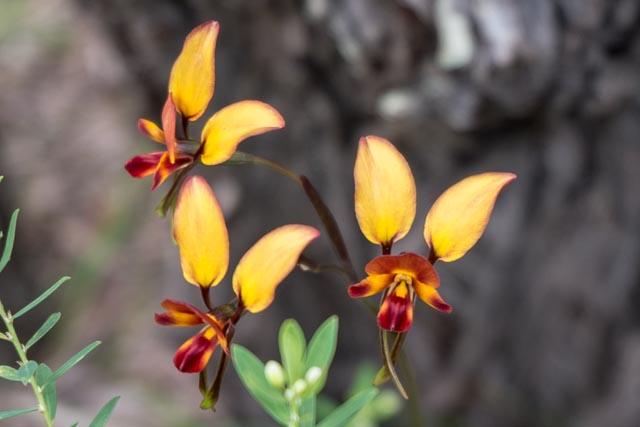 Donkey_Orchids