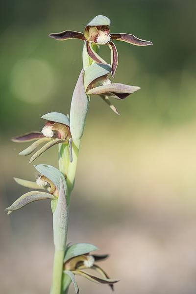 Rattlebeak orchid