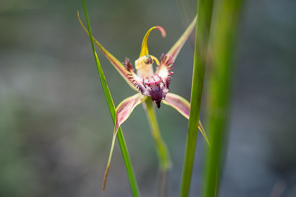 Spider_orchid (2)
